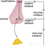 Diagram illustrating control of cortisol release