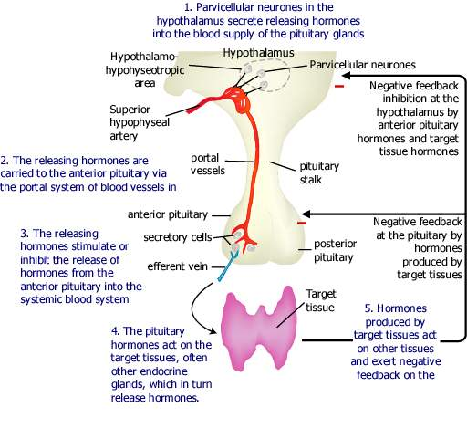 the hypothalamo-pituitary axis