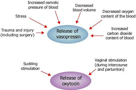 balance of brain oxytocin and vasopressin An oxytocin-like neuropeptide (inotocin) exhibited a specific pharmacological profile for the human receptors of oxytocin (known as the love hormone) and vasopressin, report scientists at conclusion of their study at the same time, the researchers were able to show that a synthetic analogue of.